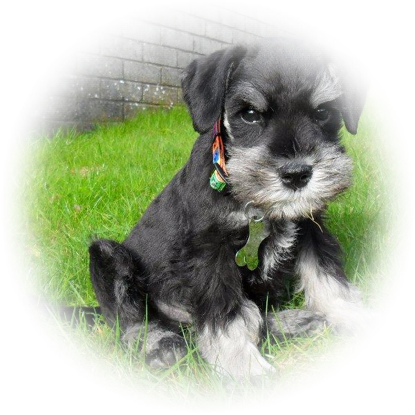 Time for a change, so Brian now has pride of place as the Tialexi Miniature Schnauzer Home Page top dog front cover