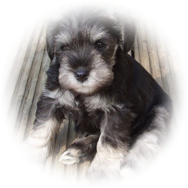 This little Princess is Orla and she is one of our favourire Tialexi miniature schnauzers puppies