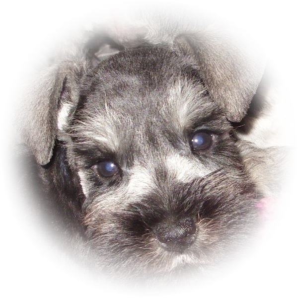 This little Tialexi miniature schnauzer is Bailey