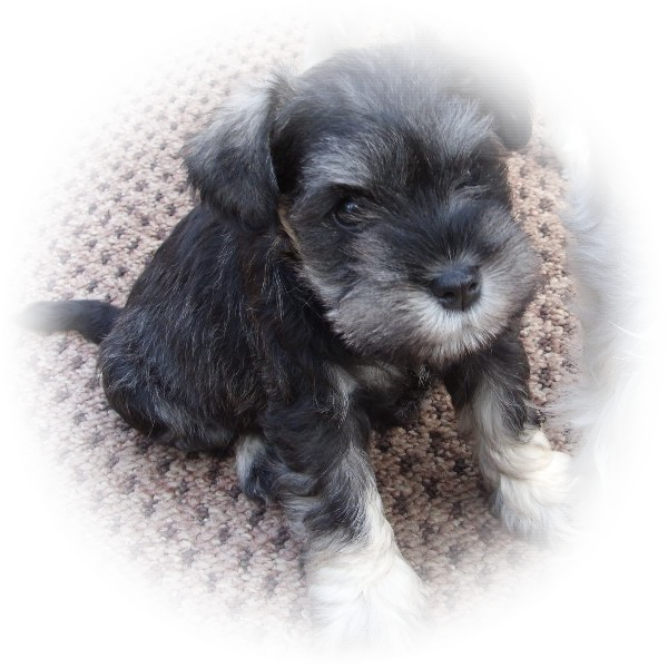 This little fellow is Wilf and what a great little Tialexi miniature schnauzer character he is.