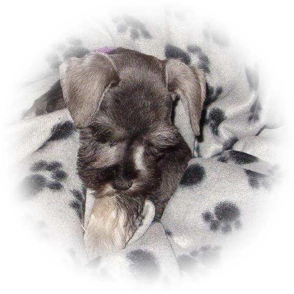 Popsicle Poppy the Tialexi Miniature Schnauzer