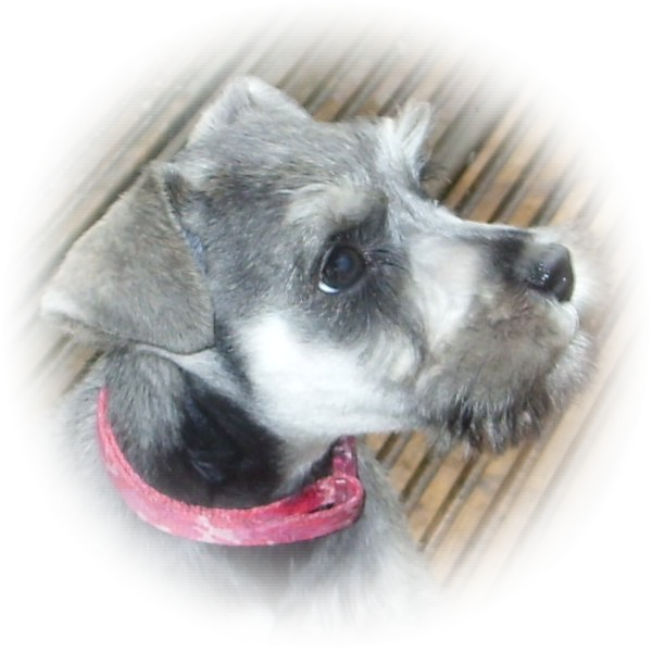 This little gem is Lacey and she is one of our favourire Tialexi miniature schnauzers puppies of all time