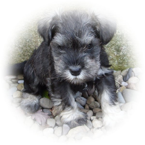 This little chap is Jasper and he is one of our favourire boy Tialexi miniature schnauzers puppies