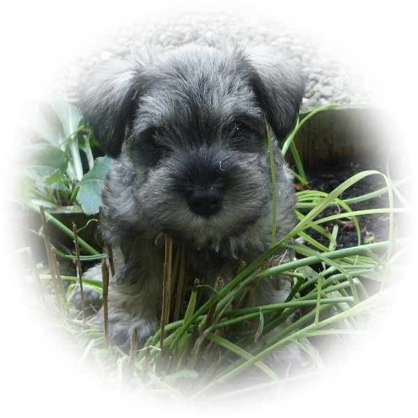 This little fellow is Fyn the Tialexi miniature schnauzer