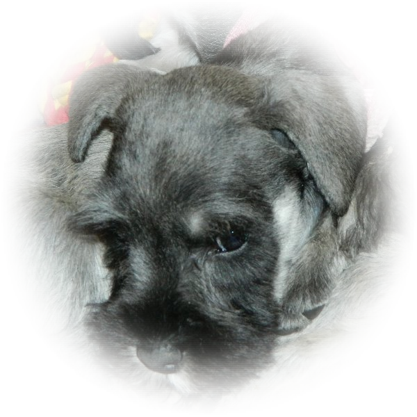 This is Minnie theTialexi miniature schnauzer