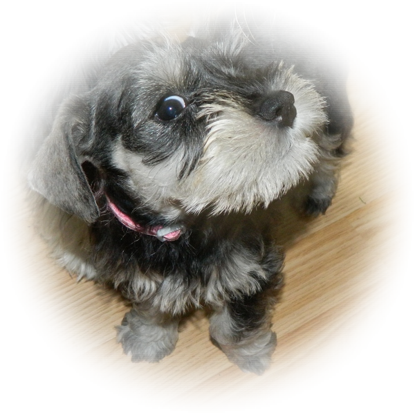 How cute is this little Tialexi Miniature Schnauzer