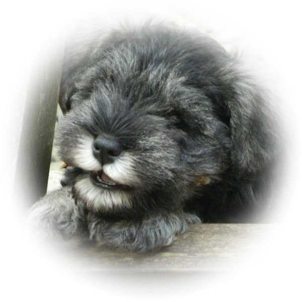 Tilly is a lucky little Tialexi miniature schnauzer puppy, as she is going to live with Bob