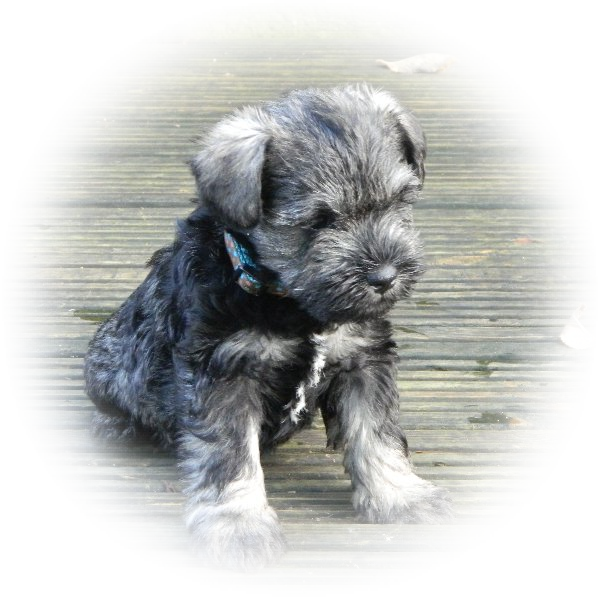 This is Dusty the Tialexi miniature schnauzer