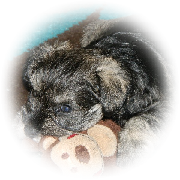This is Mollie the Miniature Schnauzer