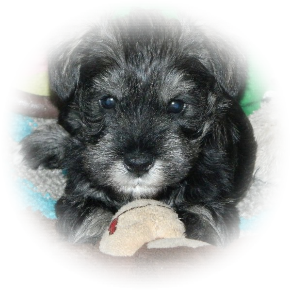 Fergus the Tialexi Miniature Schnauzer