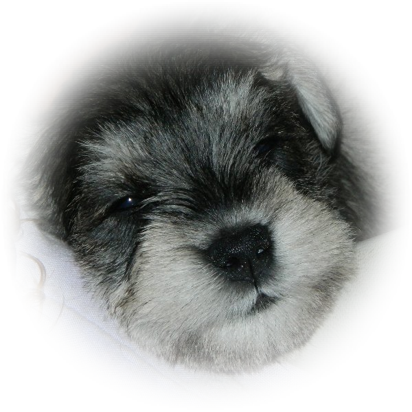 Mia is a fantastic little Tialexi Miniature Schnauzer Puppy