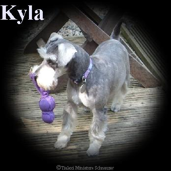 Kyla the miniature schnauzer