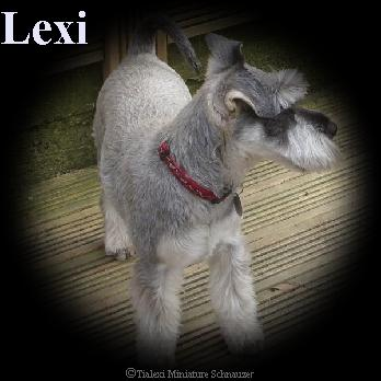 lexi the miniature schnauzer