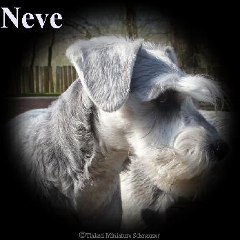 Neve the miniature schnauzer