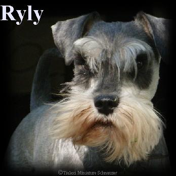 Ryly the miniature schnauzer