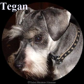 Tegan the miniature schnauzer