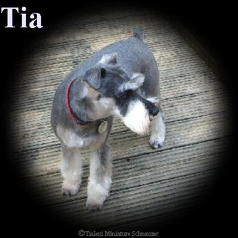 Tia the miniature schnauzer
